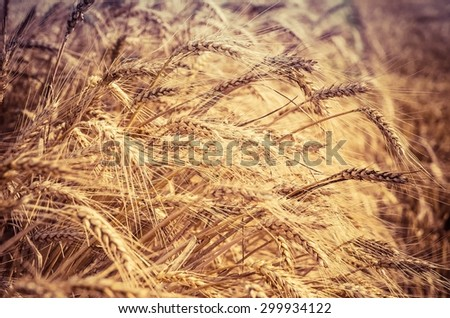 Grain field. Golden field of wheat ready to be harvested. - stock photo