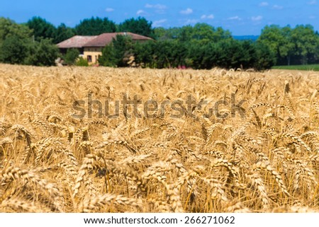 Grain field in Figarol in the south of France - stock photo