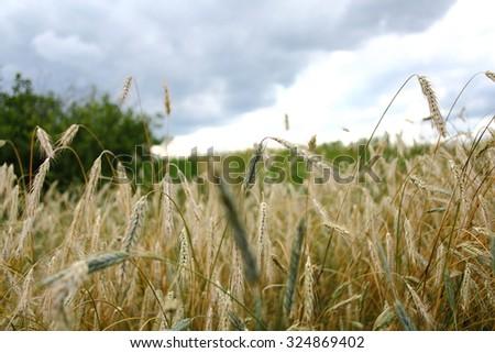 Grain field in rural Russia - stock photo