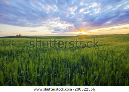 Grain field in the sundown - stock photo