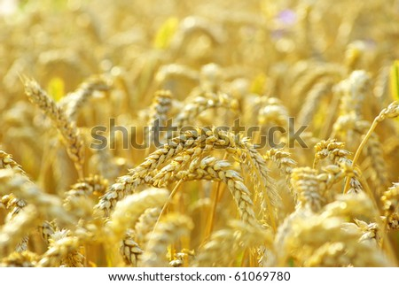 grain ready for harvest growing in a farm field - stock photo