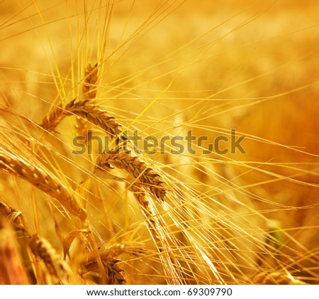 Grain wheat barley ears, yellow ripe field, agriculture background - stock photo