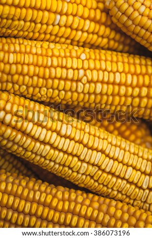 Grains of ripe corn. Macro