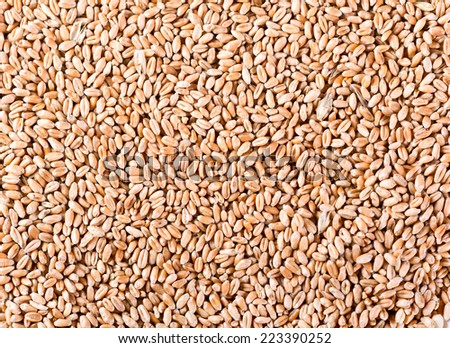 grains of wheat as background - stock photo