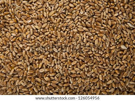 grains of wheat in closeup texture image - stock photo