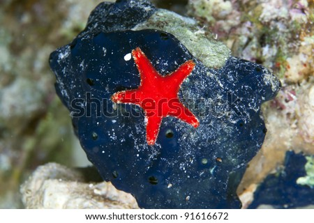 Grainy cushion star (culcita coriacea) in the Red Sea - stock photo