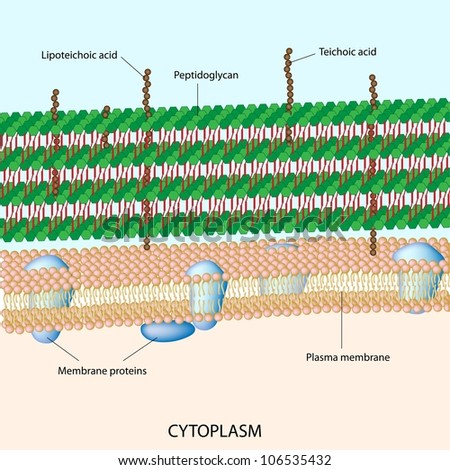 Gram positive bacterial cell wall - stock photo
