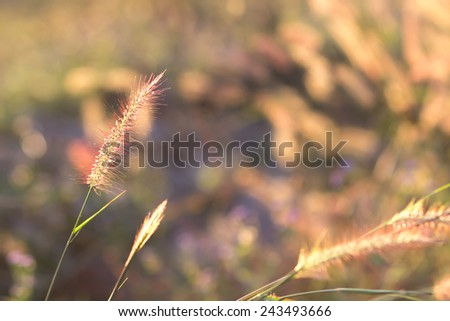 Gramineae grass during sunset - stock photo