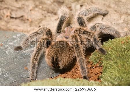 Grammostola rosea - big tarantula spider - stock photo