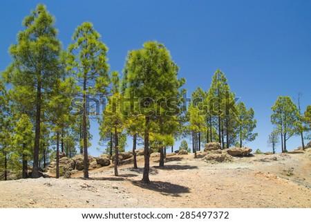 Gran Canaria, Caldera de Tejeda, Canarian Pine trees, short midday shadows - stock photo