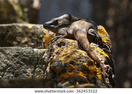 Gran Canaria giant lizard, gallotia stehlini large endemic reptile species