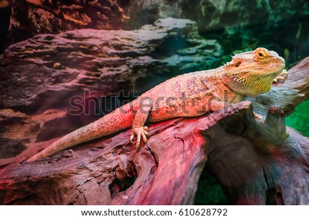 Grand Cayman Blue Iguana An Endangered Species Of Lizard Commonly Found In The Dry Forests
