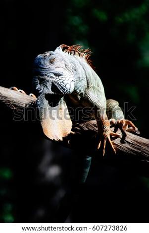 Grand Cayman Blue Iguana An Endangered Species Of Lizard Portrait Green