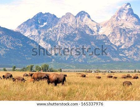 Grand Tetons and Bison, Wyoming, USA - stock photo