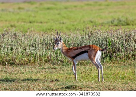 Grant's Gazelle in the Ngorongoro Crater, Tanzania