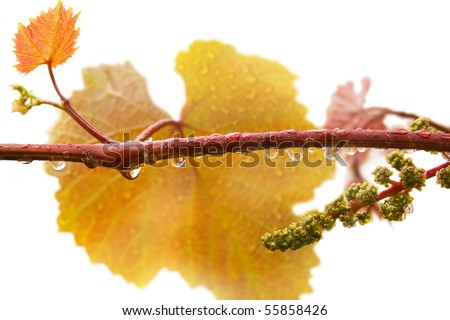 Grape branch with drops of dew - stock photo