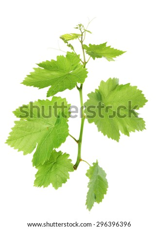 Grape branch with green leaves, isolated on white