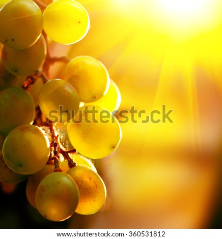 Grape. Bunch of grapes on grapevine growing in vineyard. Yellow grapes with green leaves on the vine in sunlight. Soft focus - stock photo