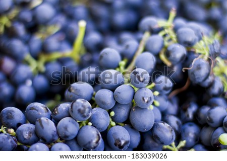 Grape bunches - stock photo