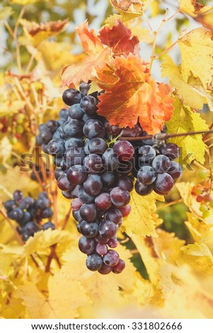 Grape bunches hanging from vine in sun light. Soft and blur style for background. A photo with shallow depth of field - stock photo