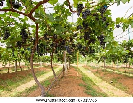 grape farm - stock photo