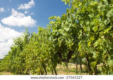 Grape garden in the south moravia - Czech republic - stock photo