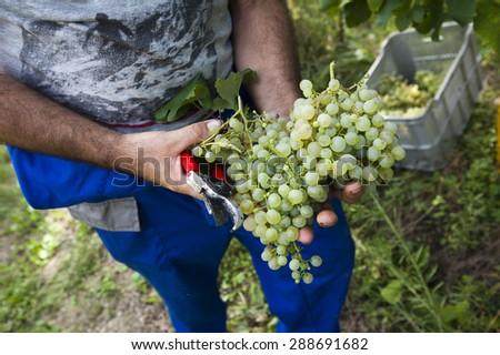 grape harvest - stock photo