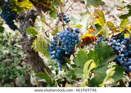 Grape harvest in small organic vineyard
