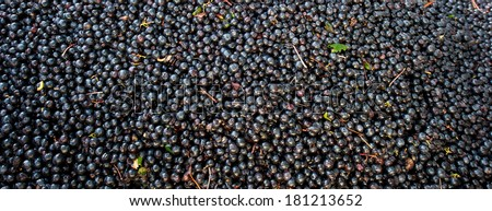 Grape harvest : red grape bay - stock photo