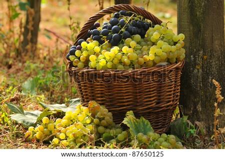 Grape Harvester Basket - stock photo