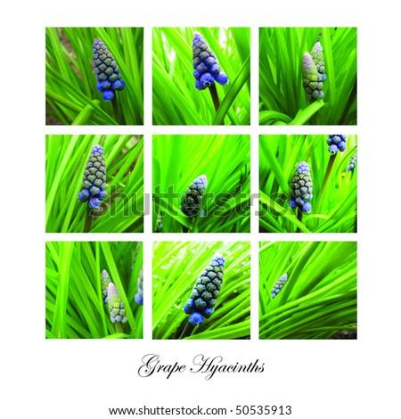 grape hyacinth - stock photo