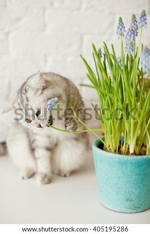 grape hyacinth and cute cat - stock photo
