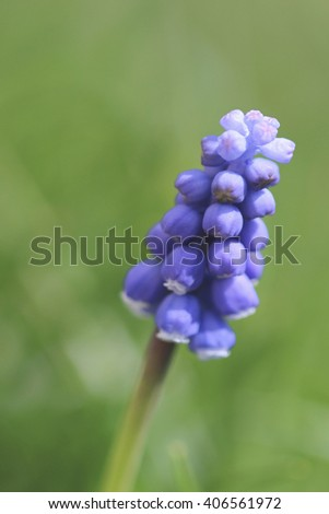 Grape Hyacinth Close up with room for copy