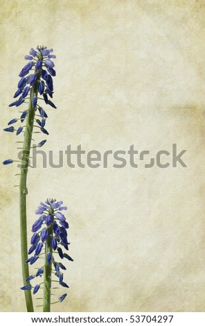 Grape-Hyacinth flowers on a vintage textured background. Copy-space. - stock photo