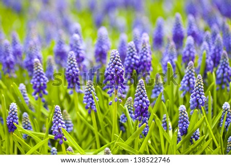 Grape hyacinth in spring season