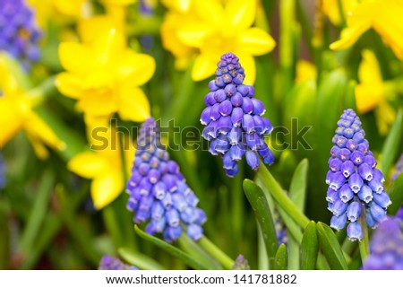 Grape Hyacinth (Muscari botryoides) and Daffodils (Narcissus) in spring - stock photo