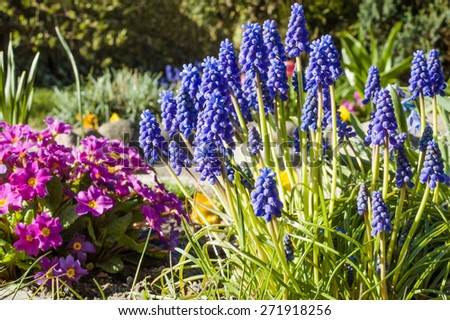 Grape hyacinths in the spring garden, flowers background - stock photo