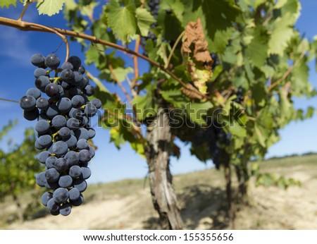 grape in a tuscany vineyard - stock photo