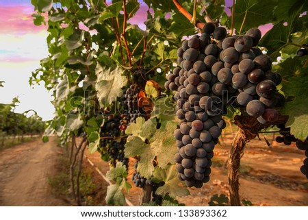grape in the wine yard at the sunset. - stock photo