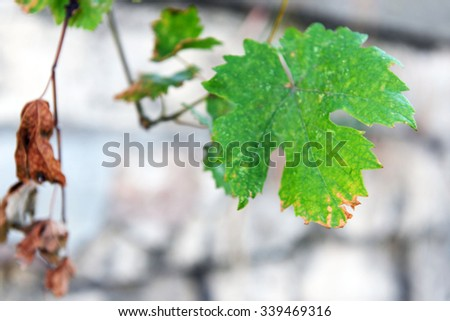 Grape leaf on blurred stone fence background - stock photo