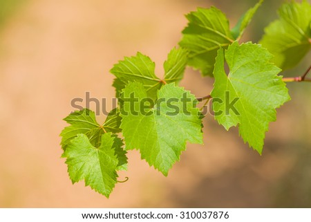 Grape leafs and vine outdoors, in the fields. - stock photo