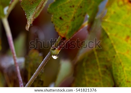 grape leaves gathering moisture in the morning then forming water drops with colorful leaves in the background