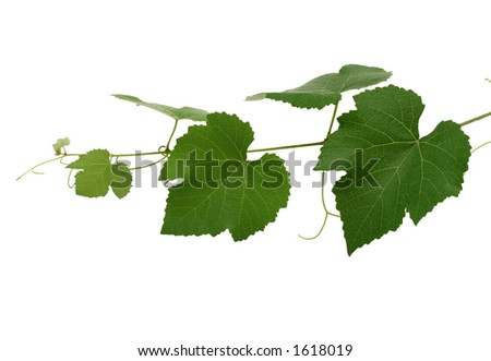 Grape leaves, isolated - stock photo