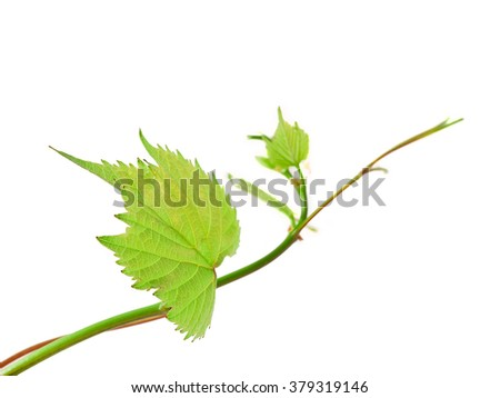 Grape leaves isolated on a white background - stock photo