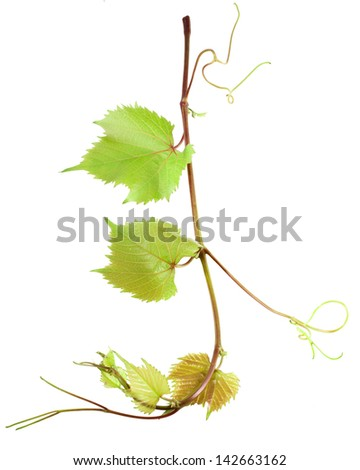 Grape leaves isolated on white, frame element - stock photo