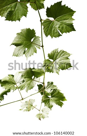 Grape leaves of a branch on a white background. - stock photo