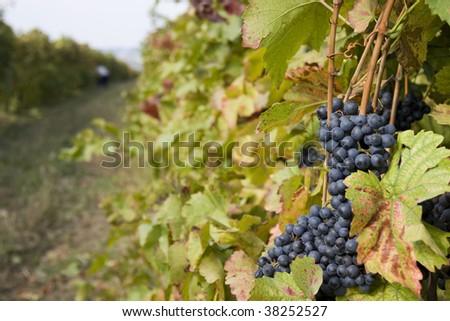 Grape on a vineyard - stock photo