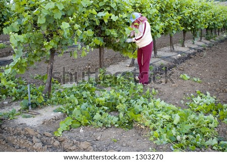 Grape picker, San Joaquin Valley, California