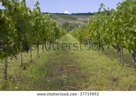Grape plantation in Eger, Hungary