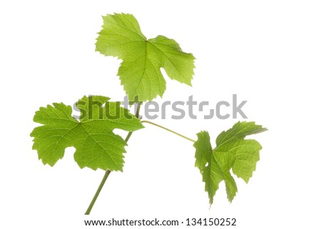 Grape plants with fresh, new leaves. Isolated on a white background.